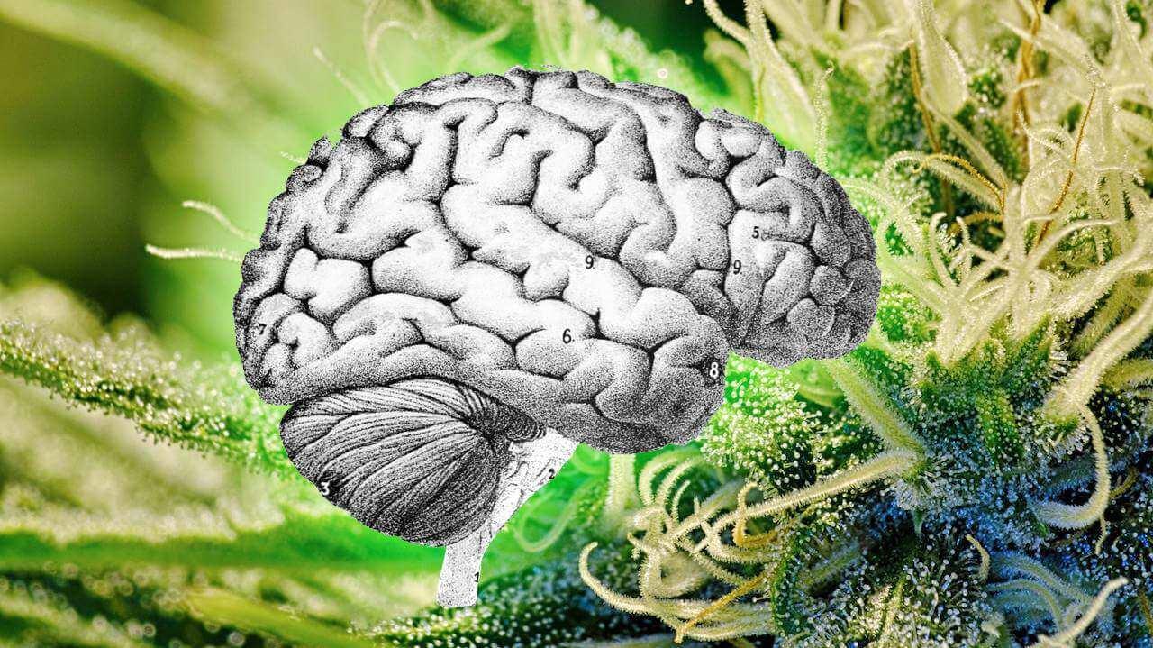 Un po' di THC ogni giorno potrebbe contrastare l'invecchiamento cerebrale