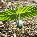 """Marijuana """"Light"""", Speculazione """"Strong"""": in Italia ci si lancia sul mercato prima di liberare la coltivazione personale"""