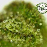 Approfondimenti e Curiosità sulla Cannabis con Anto – FreeWeed Radio 4.20