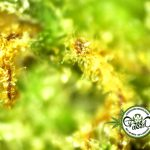 Studio: Uso di cannabis a livello medico diminuisce l'uso di farmaci oppiacei