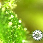 Nuovo Studio Italiano: Sistema Endocannabinoide e Cannabinoidi sono un trattamento utile per l'Anoressia