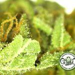 In California la prima Assicurazione Commerciale per le aziende della Cannabis