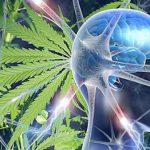 Studio: L'Uso di Cannabinoidi nell'Adolescenza non influenza la memoria in età adulta, anzi la migliora