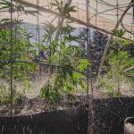In Africa è iniziata la Corsa alla Cannabis Legale