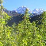 Studio: Cannabis efficace nel trattamento della Malattia di Parkinson