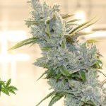 L'azienda spagnola Phytoplant ottiene il certificato di coltivazione della cannabis ad uso medicinale