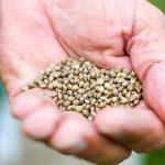 Semi di Canapa come alimento utile per perdere peso