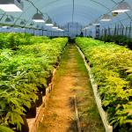 Uruguay, il primo raccolto nazionale di cannabis ad uso medico è pronto
