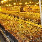 """Cannabis Tracciata tramite un Isotopo nell'acqua di irrigazione: così gli Usa si preparano a """"controllare"""" le coltivazioni legali"""