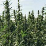 """FIT – Cannabis Light: """"Attenzione alle Bufale"""" Situazione Ancora da Chiarire."""