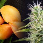 Ecco come il Mango migliora gli effetti della Cannabis