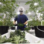 Canopy Growth scommette sull'acquisto dell'Alcaliber in Spagna?