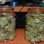 Cosa succede alla Cannabis conservata per 5 anni in un barattolo di vetro?