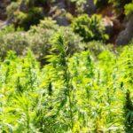 Cannabis senza THC per trattare il cancro alle ovaie?