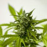 Studio: legalizzazione della cannabis associata alla riduzione del crimine e dell'uso di alcolici