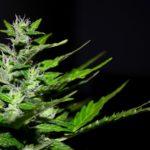 Ecco come la Cannabis agisce sulle varie tipologie di dolore