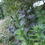 """Le chiavi per la coltivazione della Cannabis in """"Guerrilla"""""""