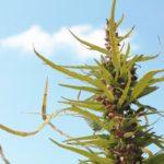 Trucchi per coltivare la Cannabis a livello agricolo industriale