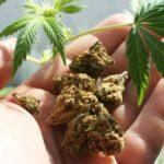 Studio: L'Uso frequente di Cannabis non è associato a cambiamenti nella Struttura del Cervello