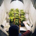 Il fotoperiodo nella coltivazione indoor: una guida basilare