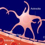 Studio: i cannabinoidi proteggono la barriera emato-encefalica in caso di emorragia intracerebrale