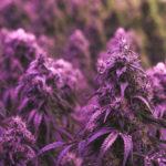 Quale fu la prima civiltà a fumare Cannabis?