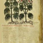 Storia della Cannabis in Medicina: Il De Materia Medica di Dioscoride Pedanio