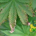 """Come trattare la """"Sovrafertilizzazione"""" nelle piante di Cannabis"""