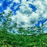 Israele: il parlamento regolamenta l'esportazione di cannabis ad uso medico
