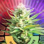 """Studio: i terpenoidi della cannabis """"esercitano attività antiinfiammatoria e antinocicettiva in vitro e in vivo"""""""